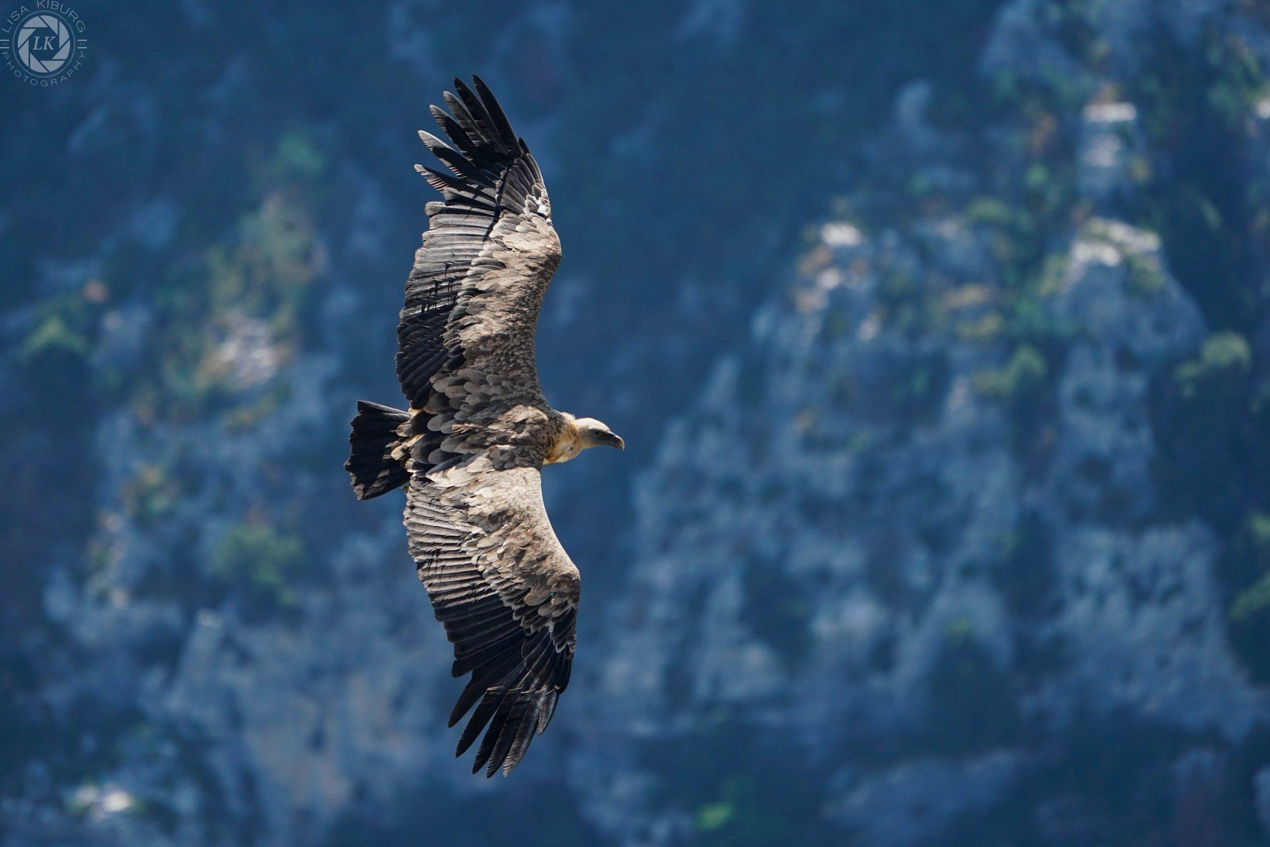 Vulture in flight