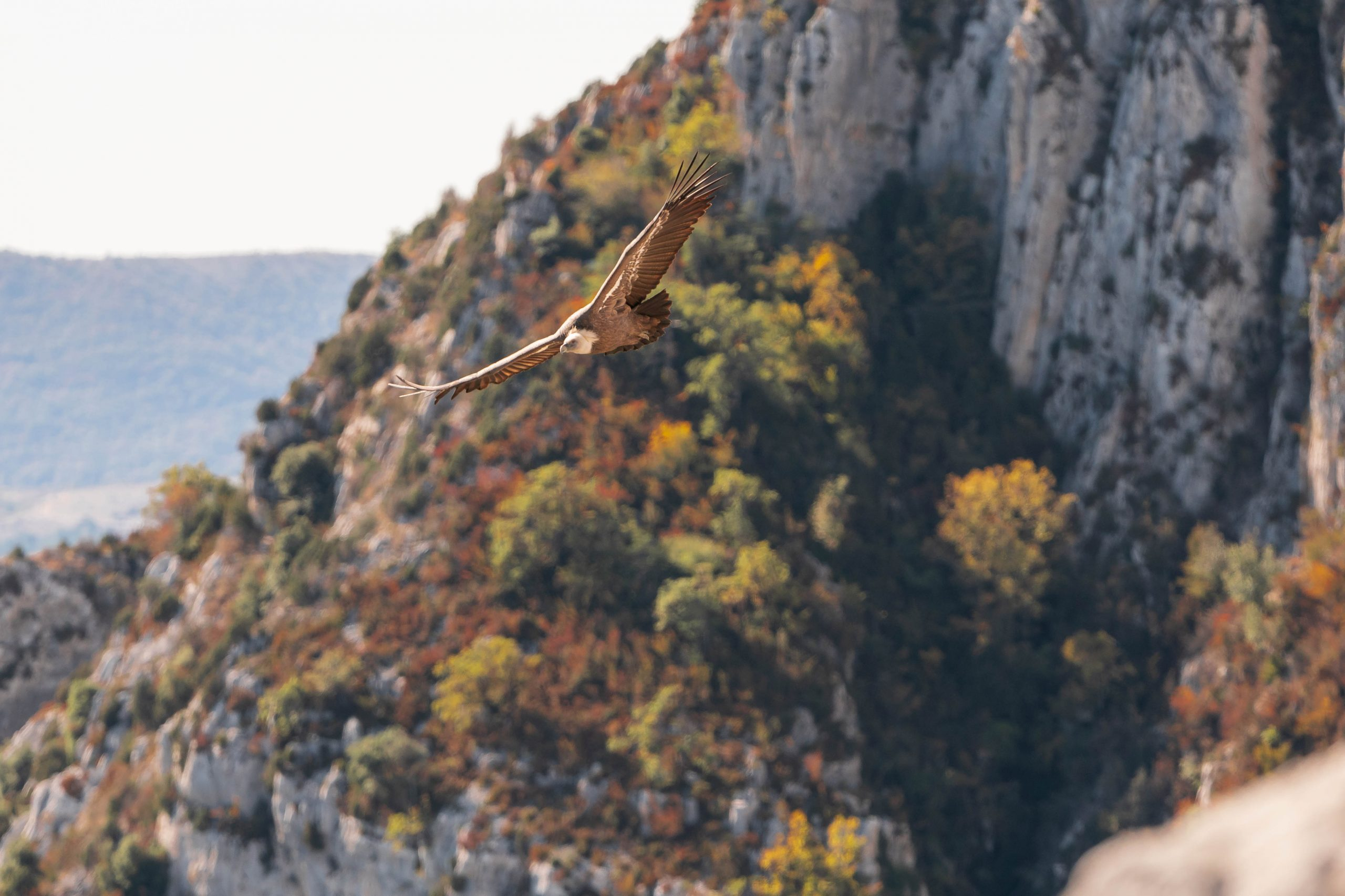 Flying vulture during autumn