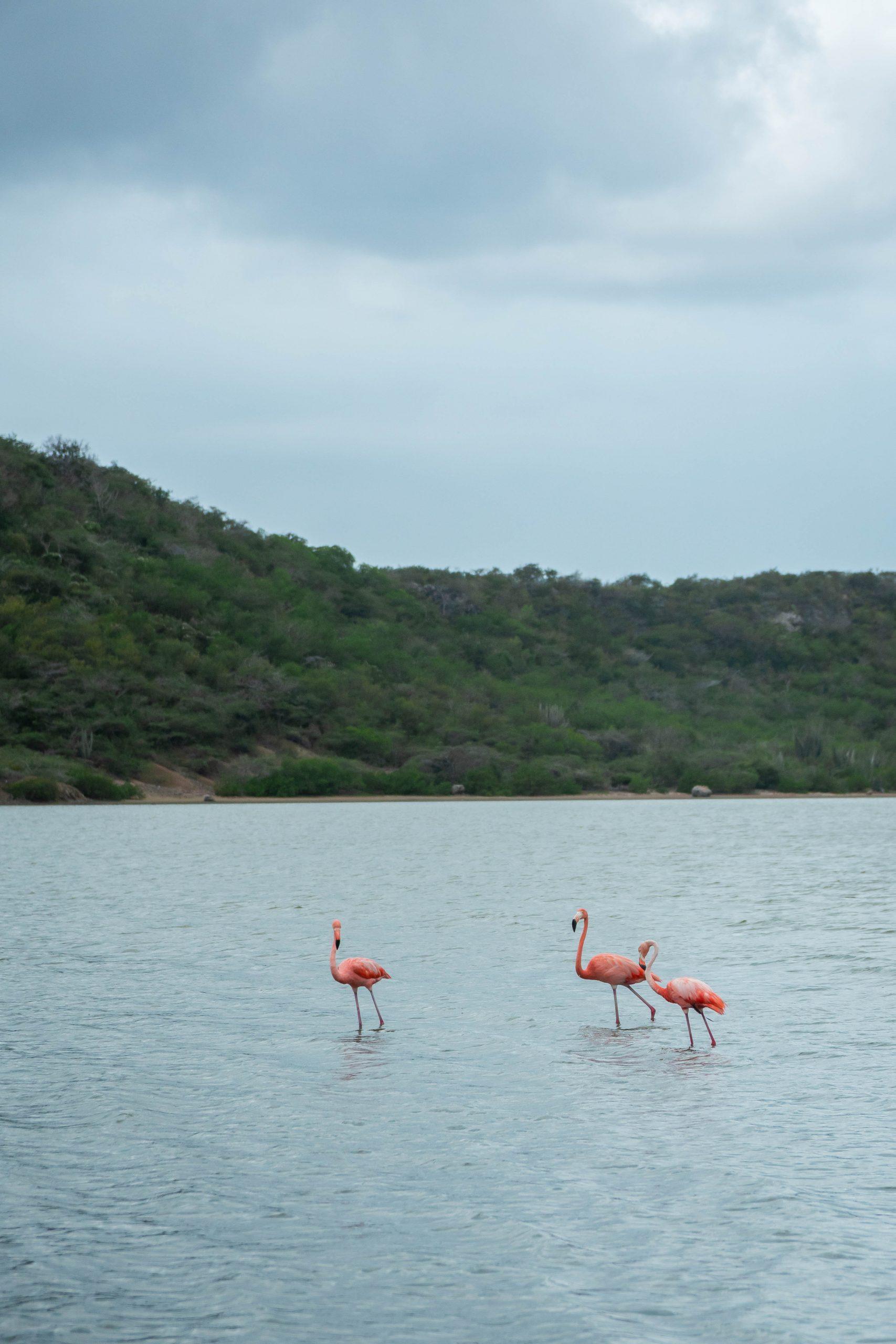 Jan kok flamingo's